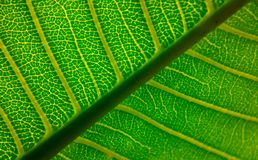 Beautiful form of leaf veins Royalty Free Stock Images