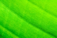 Macro shot of green leaf Royalty Free Stock Photo