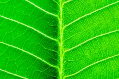 Macro shot of green leaf Royalty Free Stock Photography