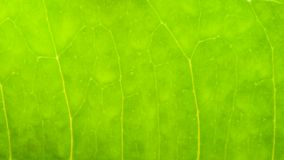 Macro shot of green leaf texture Royalty Free Stock Photo