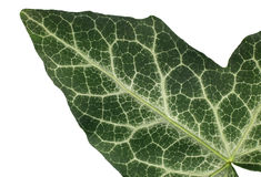 Macro shot of a green leaf texture Stock Images