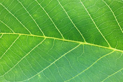 Macro shot of a green leaf texture Stock Image