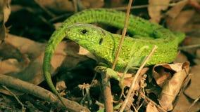 Macro shot of the green lizard stock video footage