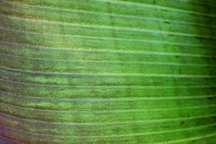 Close up cropped image of banana palm leaf with visible texture structure. Green nature concept background. Stock Photo