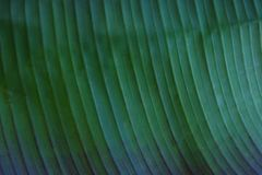 Close up cropped image of banana palm leaf with visible texture structure. Green nature concept background. Stock Image