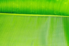 Close up cropped image of banana palm leaf with visible texture structure. Green nature concept background. stock photography