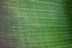 Close up cropped image of banana palm leaf with visible texture structure. Green nature concept background. Stock Photos