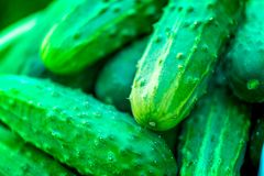 Macro shot of a group of freshly picked green ripe cucumbers. Summer harvest. Macro shot of a group of freshly picked green ripe cucumbers in a yellow bucket in Stock Photo