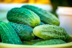 Macro shot of a group of freshly picked green ripe cucumbers. Summer harvest. Macro shot of a group of freshly picked green ripe cucumbers in a yellow bucket in Royalty Free Stock Image