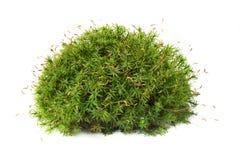 Macro shot of growing moss on white background isolated. Macro shot of growing green moss on white background isolated Stock Image