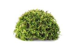 Macro shot of growing moss on white background isolated. Macro shot of growing green moss on white background isolated Stock Photography
