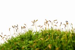 Macro shot of growing moss on white background isolated. Macro shot of green growing moss on white background isolated Stock Image
