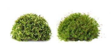 Macro shot of growing moss on white background isolated. Macro shot of growing green moss on white background isolated Royalty Free Stock Photos