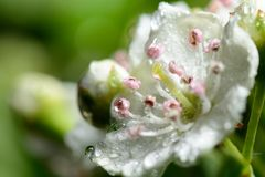 Hawthorn blossom. Macro shot of Hawthorn blossom covered in dew Royalty Free Stock Images