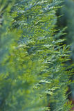 Macro shot of healthy arborvitae. Macro shot with shallow DOF of healthy arborvitae (Thuja occidentalis Stock Photography
