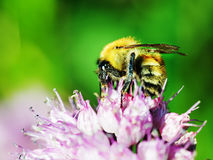 Macro shot of honey bee on blue flower.  Stock Image