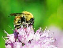 Macro shot of honey bee on blue flower. Closeup Stock Photo