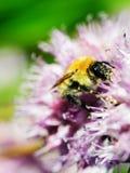 Macro shot of honey bee on blue flower. Closeup Stock Photography