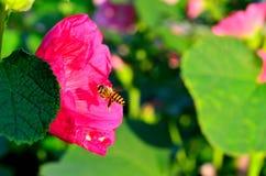 Macro shot of honey bee landing on a flower royalty free stock photo