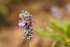 Macro shot of a honey bee on a lavender blossom against blurred natural background. Process of pollination Royalty Free Stock Images
