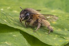 Macro shot of a honeybee sitting in the garden on a leaf royalty free stock photo