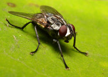 Housefly on a leaf Royalty Free Stock Photos
