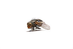 Macro shot of a housefly. Stock Image