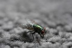 Green House Fly on Gray Carpet stock images