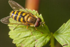 Macro shot of Hover fly Stock Image