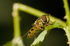 Macro shot of Hover fly Stock Photos
