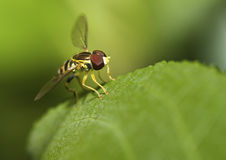 Macro shot of a hover fly Stock Photo