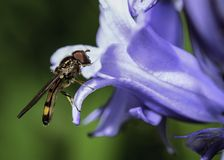 Hover fly sitting on a Bluebell Stock Photo