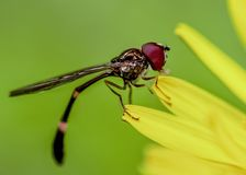 Hover fly sitting on a Dandilion Stock Photography