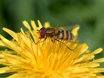 Macro shot of a Hoverfly on a dandilion royalty free stock photo