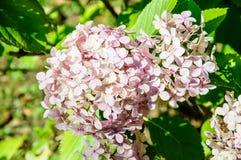 A macro shot of a hydrangea bloom Stock Photo