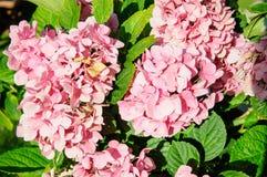 A macro shot of a hydrangea bloom Stock Image
