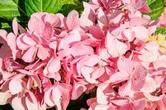 A macro shot of a hydrangea bloom Royalty Free Stock Photo