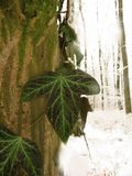Macro shot of ivy on a tree. In a winter landscape Stock Images