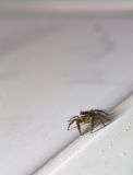 Macro shot of a jumping spider (Marpissa muscosa).  Royalty Free Stock Photo