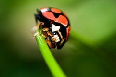 Lady bug. Macro shot of a lady bug on a leaf Stock Images