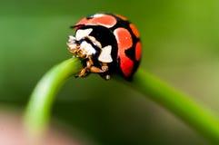 Lady bug. Macro shot of a lady bug on a leaf Stock Image
