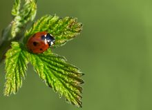 Macro shot of ladybug Stock Photos