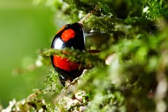 Ladybug  on moss Stock Photo