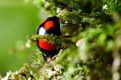 Ladybug  on moss Stock Photo