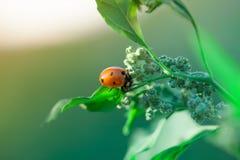 Macro shot of ladybug. Nature background photography. Closeup photo. Macro shot of ladybug. Nature background photography. Closeup photo Royalty Free Stock Images
