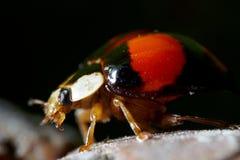 Ladybug  macro Stock Photo