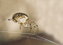 Macro shot of large spider Royalty Free Stock Image