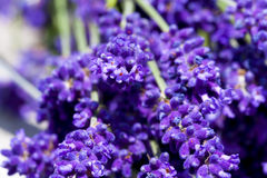 Macro shot of lavender flowers Royalty Free Stock Photos