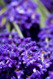 Macro shot of lavender flowers Stock Photo