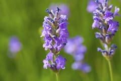 Macro shot of lavender flowers Royalty Free Stock Photo